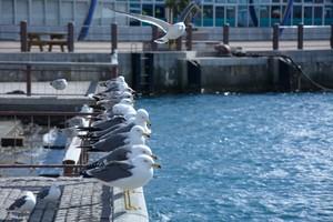 寒さに耐える海猫