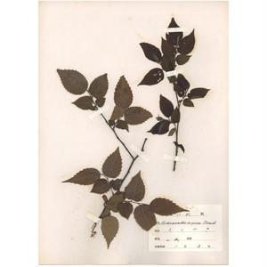 日本の古い植物標本 018