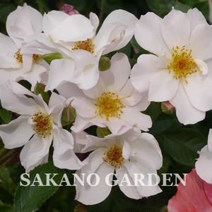 バラ:ウォーブリング【新苗】 2018年春発表新品種 5月中旬以降発送