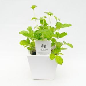 【無農薬ハーブセット】ワイルドストロベリー