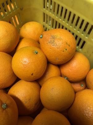 【年内限定!】【1kg~購入可!】愛媛産自家農園のふぞろいのマドンナたち!1kg~(3~5個)
