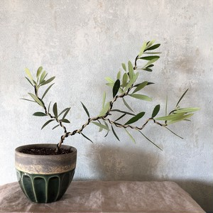 オリーブ盆栽 ネバディロ・ブランコ(PS26)