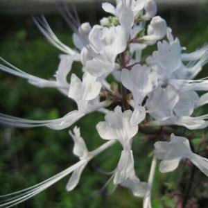 斑入りネコノヒゲ9cmポット苗