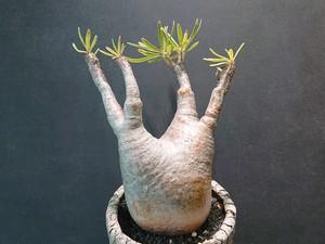 Pachypodium rosulatum var. gracilius パキポディウム グラキリス