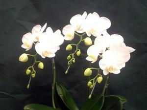 白くてかわいい胡蝶蘭3本