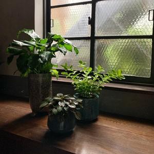 植観葉植物3点セット カラテア&ペペロミア&ホヤ