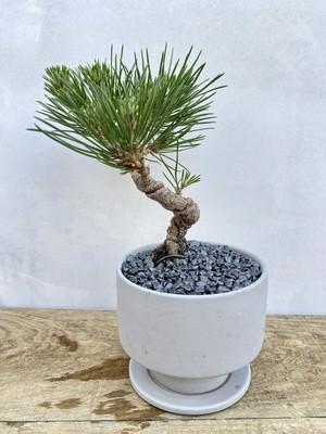 【送料無料】三河黒松 盆栽 一点物 陶器鉢 灰 趣味 コレクション ルル盆