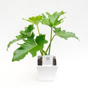 【ミニ観葉植物セット】セローム