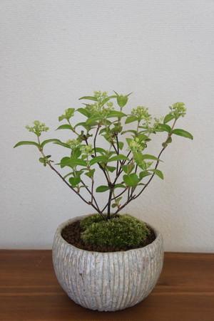 盆栽 花笠ウツギ