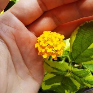 斑入りランタナ10.5cmポット苗