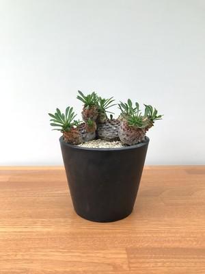 ユーフォルビア峨眉山  コーデックス  塊根植物