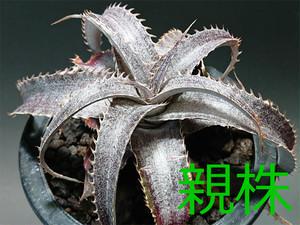 Dyckia marnier-lapostollei  ディッキア マルニエルラポストレイ (紫肌タイプ) [B]
