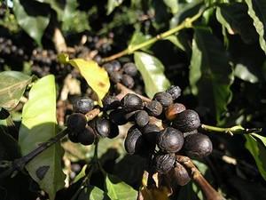 【エチオピア】イルガチフェ テーブルトップ 樹上乾燥 中煎り 200g