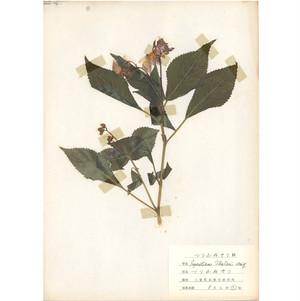 日本の古い植物標本 015
