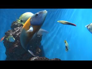 ハワイの海に棲む熱帯魚の水中動画