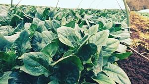 【期間限定】豊作ほうれん草2キロ