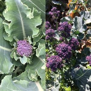 パープルスプラウト/スカーレットダンス(紫の茎ブロッコリー)