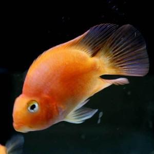 パロットファイヤーシクリッド 1尾 シクリッド /  熱帯魚