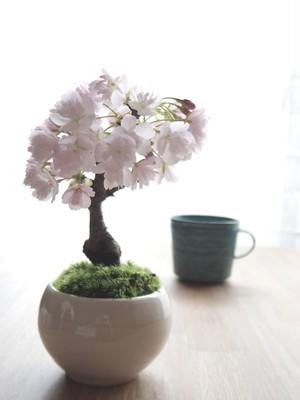 <会員>モダン桜盆栽