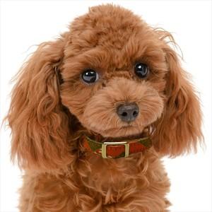 【JEXT】京都西陣織 犬の首輪 本革 首周り23~33cm 武田菱 朱