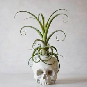 plants born (human)チランジア・カーリースリム