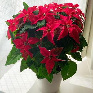 ポインセチア花鉢 PRINCETTIA  ルージュ (マルコウ種苗 萩原さん)