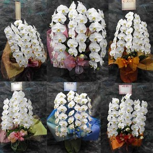 胡蝶蘭の鉢植 3本立 20,000円