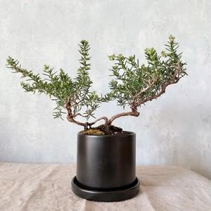 ローズマリー盆栽 サンタバーバラ (PS87)