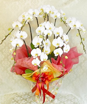 J0008) 贈答品高級胡蝶蘭 8本立ち白