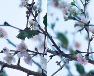糸崎公朗『冬桜』PB111027