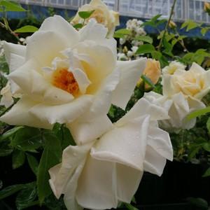 パールホワイト Pearl White