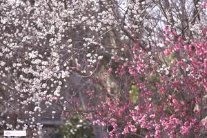 TSUBASA作「花札 梅に鶯」・缶ミラー・送料、税込み