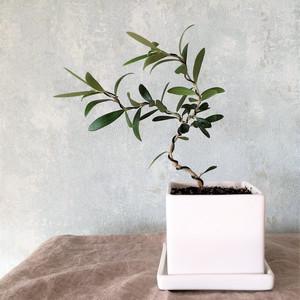 オリーブ盆栽 ルッカ(PS24)