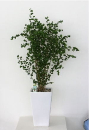 観葉植物(陶器鉢)