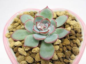 多肉植物 エケベリア サブセシリス ハート型陶器鉢