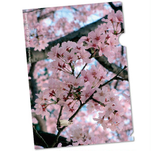 A4クリアファイル 桜