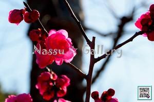 青葉の梅林2~Plum grove~①