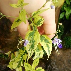 斑入りカリガネ草10.5cmポット苗