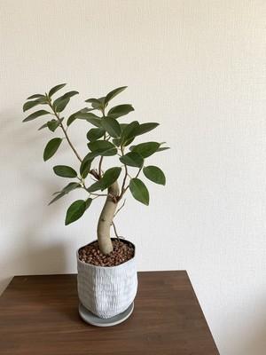 観葉植物 フランスゴム 4〜5号サイズ