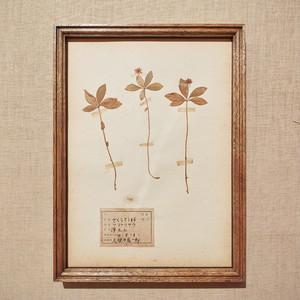 植物標本 フレーム 1929 vintage 18MAR-VSH18