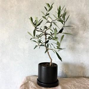 オリーブ盆栽 シプレッシーノ(PS47)