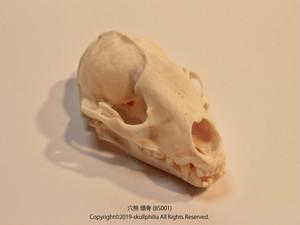 穴熊 頭骨