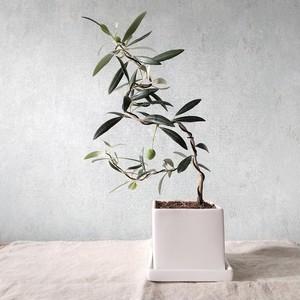 オリーブ盆栽 アルベキーナ  (PS74)