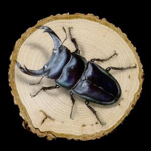 【原画】輪切り絵アート:オオクワガタ Ver1.4 (Dorcus hopei binodulosus)