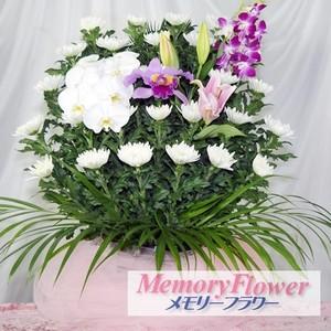 白菊21600
