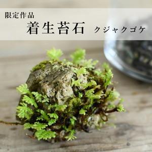 【限定・着生苔石】着生苔石 2021.3.31#2 ◆栽培容器付