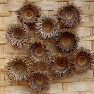 クヌギ・アベマキの殻斗 大 10個