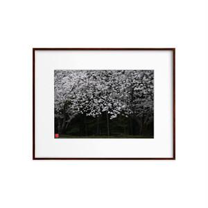 桜(ホワイトボード)A4サイズ