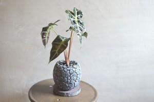 アロカシア アマゾニカ 鉢植え