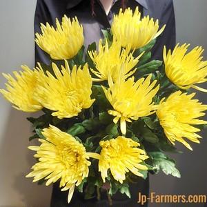 9月9日は『重陽の節句』長寿を願って 菊を飾ろう。 アナスタシアイエロー